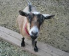 sm_goat